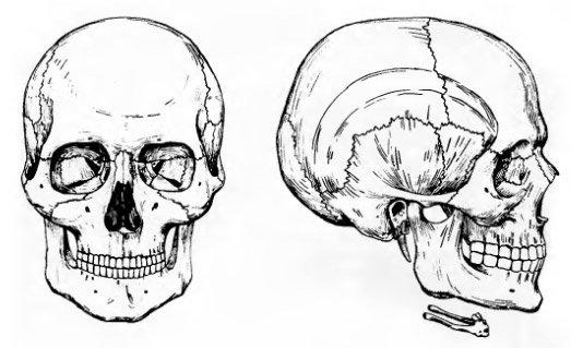 Вид черепа спереди и сбоку