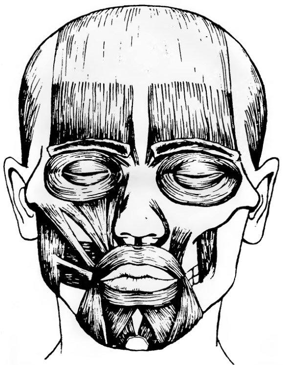 Расположение мышц головы